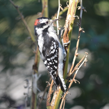 Male Downy Woodpecker!