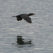 Cormorant in Flight on the Bow