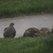 5 little Partridges I have come to love.
