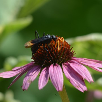 Spider Wasp on Echinacea!