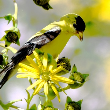Goldfinch is Camouflaged in Yellow Flowers