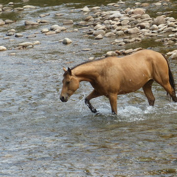 Buckskin horse crossing the granby river