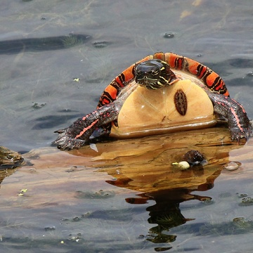 (Colourful) Painted Turtle