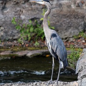 Great Blue Heron at Hog's Back Falls
