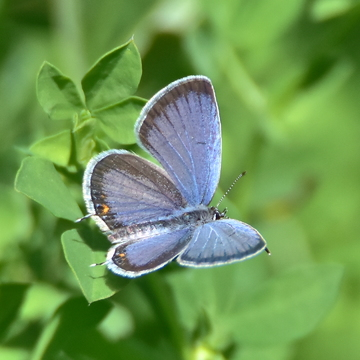 Short-tailed Blue