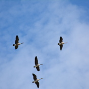 Canadian geese family in flight