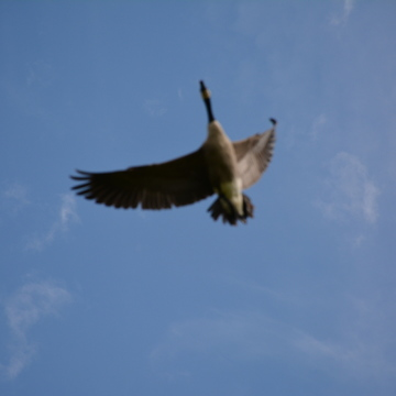 Canada goose is flying