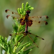 Calico Pennant Dragonfly...right Aline