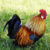 The beautiful Rooster
