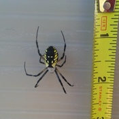 Golden Garden Spider