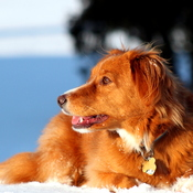 Nova Scotia Duck Toller (Little River)