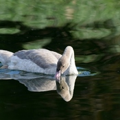 Teenage Cygnet
