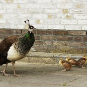 Peahen and her Peachicks
