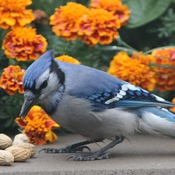 Beautiful Bluejay!!!