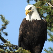 Eagles in the Fraser Valley