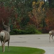 Fall attracting deers to residential areas inWhite City Saskatchewan