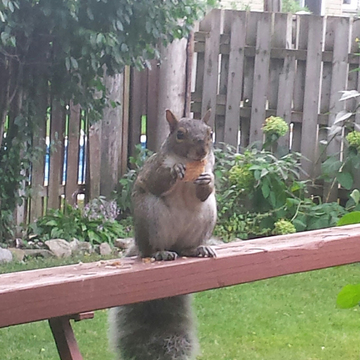 Chubby Squirrel ..it's breakfast time:)