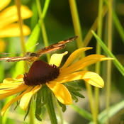 brown butterfly on black eyed susan