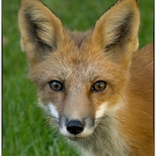 Little male fox