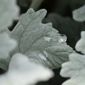 Dusty Miller and droplet
