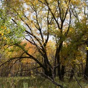 OLDMAN RIVER VALLEY'S COTTONWOOD FOREST