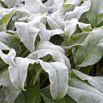 Heavy Frost on the Comfrey plants Sept 24th