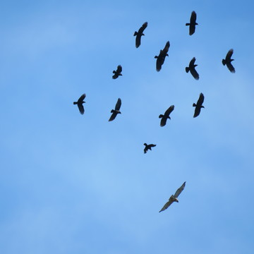 Crows in Pursuit of Large Red Tail Hawk