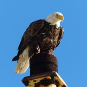 Sub-adult bald eagle