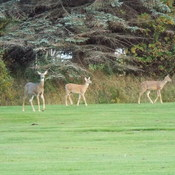 DEER AT THE GOLF COURSE