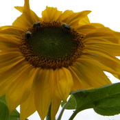 ring around the sunflower