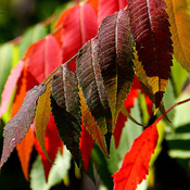 Flaming Sumac leaves