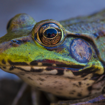 In the eye of a bull frog