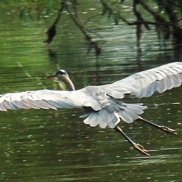 Blue Herring gliding in for landing