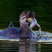 Suppertime at the Pond for Grebes