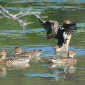 Green-winged Teal Ducks!