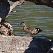 Female Woodduck!