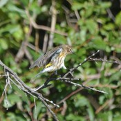 Female Yellow-rumped Warbler!