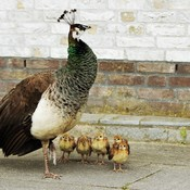 Mrs.Peahen and her Peachicks !