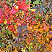 Fall Colour from Wild Rose