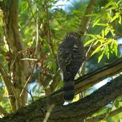 Cooper's hawk resting in a tree