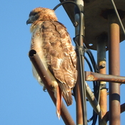 Red Tail resting on antenna.