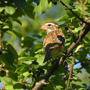 Female Rose Breasted Grosbeak.