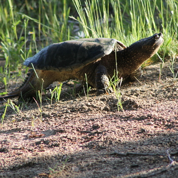 Snapping Turtle laying her eggs..