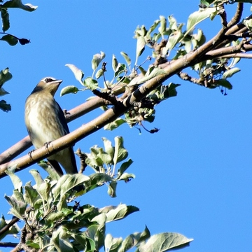 Young Waxwing