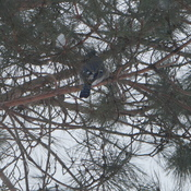 Can you spot the Blue Jay
