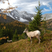 Mountain sheep posing at highwood pass