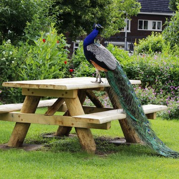 Mr.Peacock on the picnic table !!