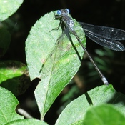 Emerald Spreadwing (Lestes dryas) Damselfly