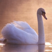 SWANs and Fog Spell Beauty