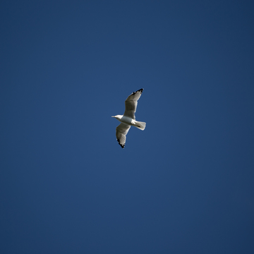 Seagull, seagull in the sky